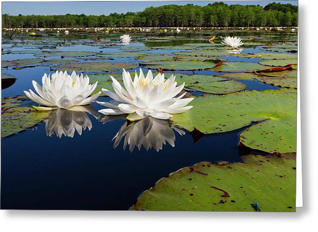Fragrant Water Lilies On Caddo Lake Greeting Card by Larry Ditto