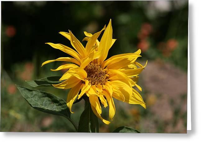 Frail Sunflower Greeting Card