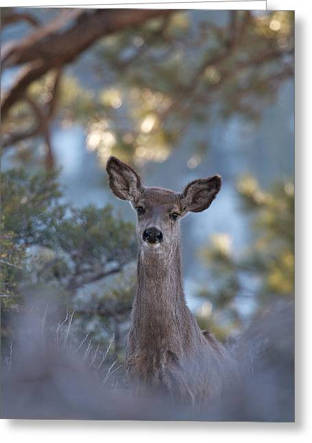 Framed Deer Head And Shoulders Greeting Card by Duncan Selby