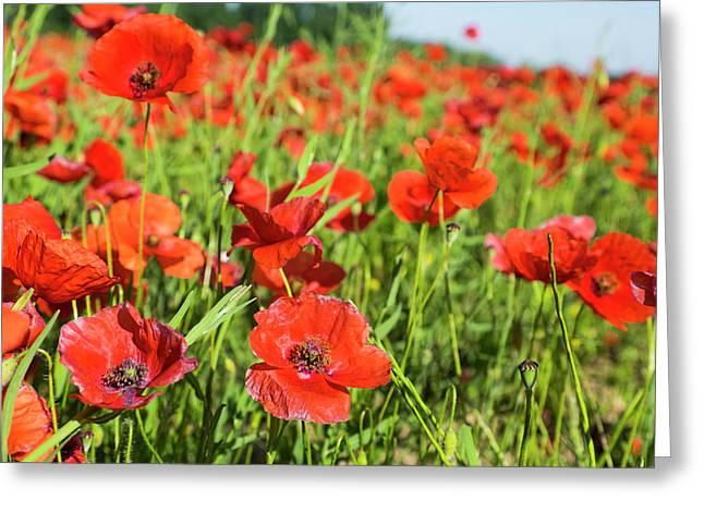 France, Poppy Fields Near St Greeting Card by Emily Wilson
