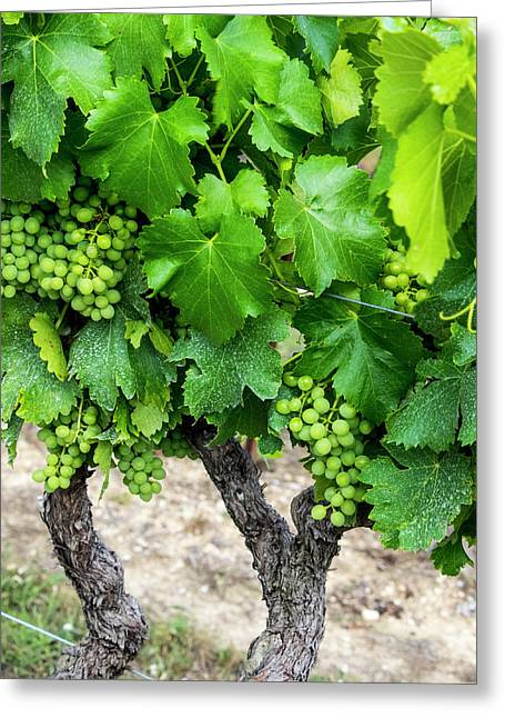 France, Provence, French Vineyard Greeting Card
