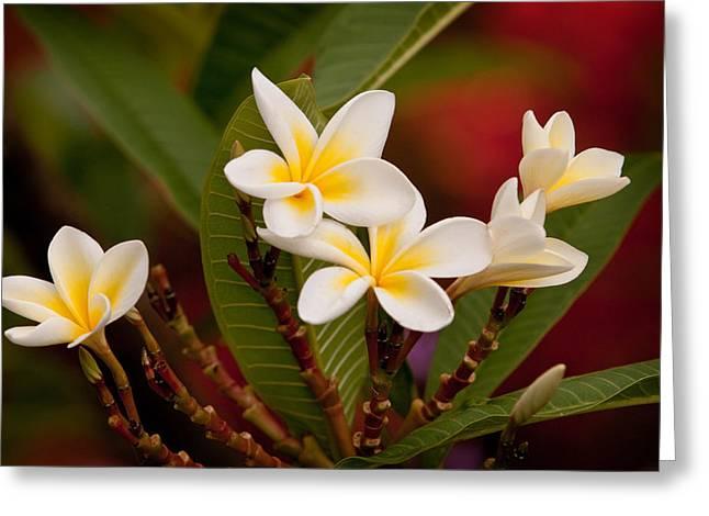 Frangipani - Plumeria Greeting Card by Michelle Wrighton