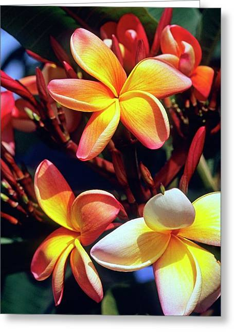 Frangipani (plumeria Tricolor) Greeting Card