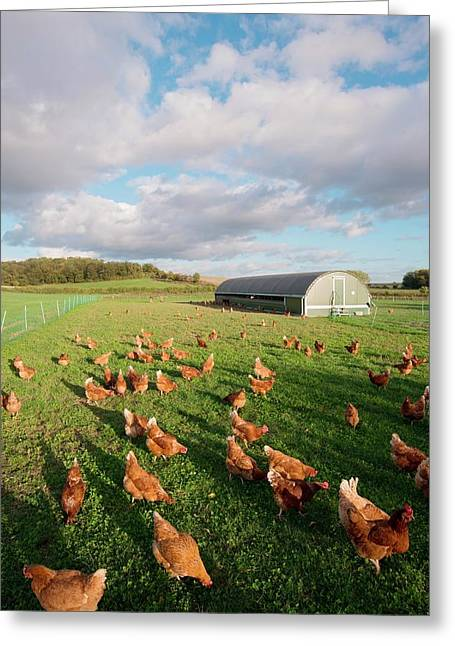 Free Range Chickens Greeting Card by Dr. John Brackenbury