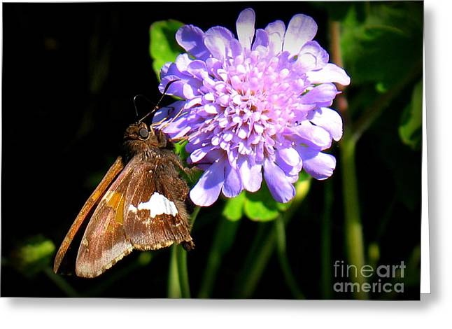 Silver Spotted Skipper Greeting Card by Patti Whitten