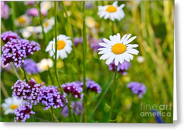 Fresh - Pretty Daisy Bellis Perennis Among A Field With Purple Flowers Greeting Card