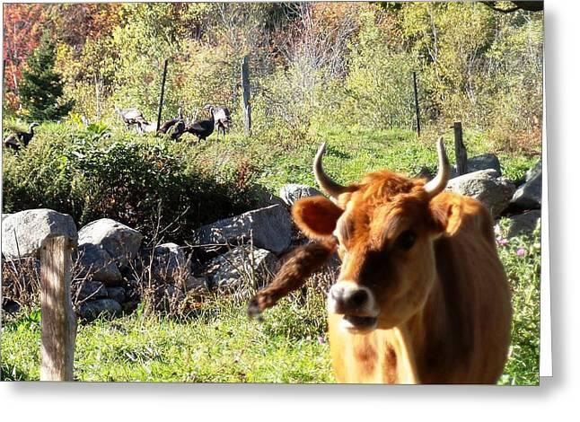 Fresh Turkey And A Little Bull Greeting Card