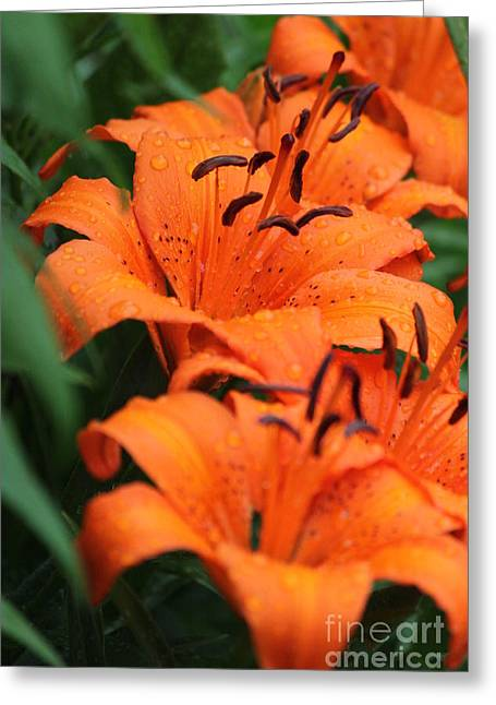 Freshly Showered Tiger Lilys Greeting Card