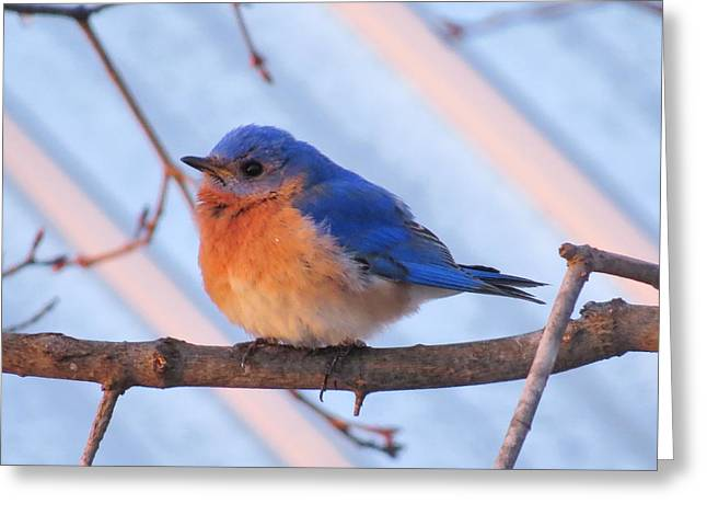 Friendly Bluebird Greeting Card by David Lankton