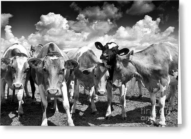 Friendly Cows  Greeting Card by Tim Gainey