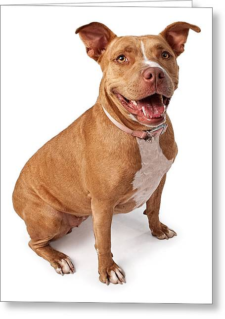 Friendly Pit Bull Greeting Card by Susan Schmitz