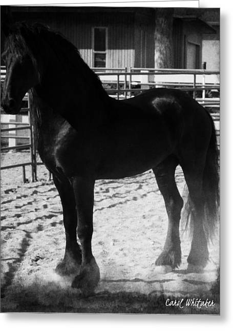 Friesian Apollo Greeting Card