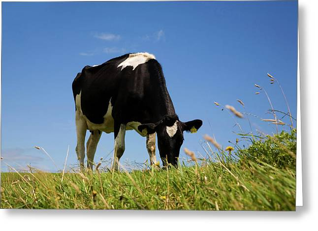 Friesian Cattle,county Waterford,ireland Greeting Card