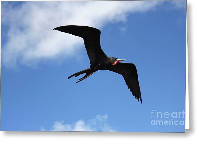 Frigate Bird In Flight Greeting Card by Sophie Vigneault