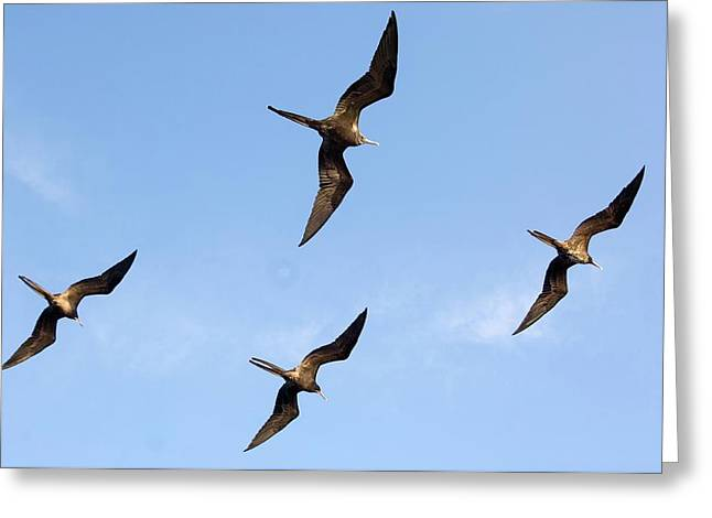 Frigatebirds In Flight Greeting Card by Daniel Sambraus