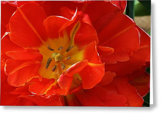 Frilly Tulip Greeting Card by Bruce Bley