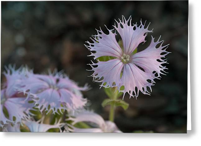 Greeting Card featuring the photograph Fringed Catchfly by Paul Rebmann