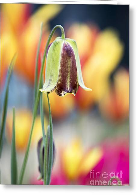 Fritillaria Graeca Thessala Greeting Card by Tim Gainey