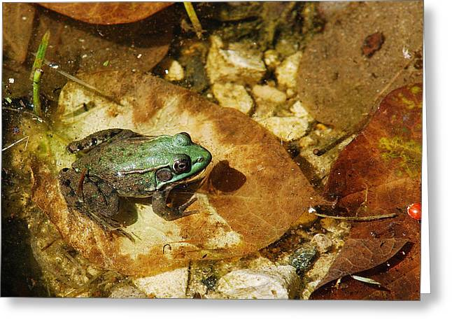 Frog And A Ladybug Greeting Card by Janice Adomeit