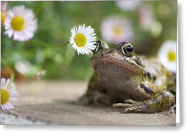 Frog And The Daisy  Greeting Card by Tim Gainey