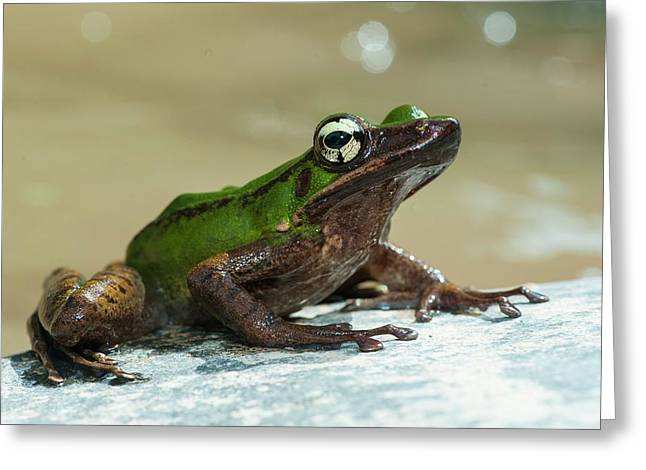 Frog By Stream In Malaysia Greeting Card
