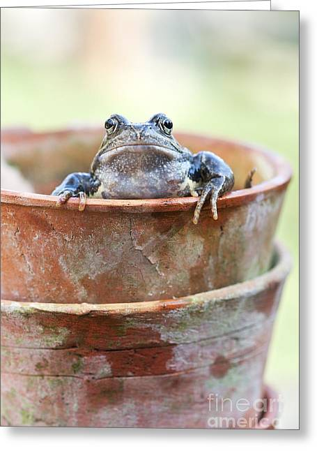 Frog In A Pot Greeting Card by Tim Gainey