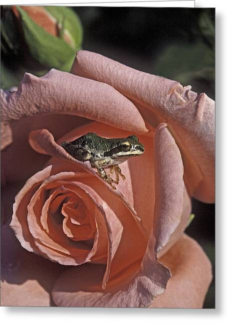 Frog On Rose Greeting Card by Judi Baker