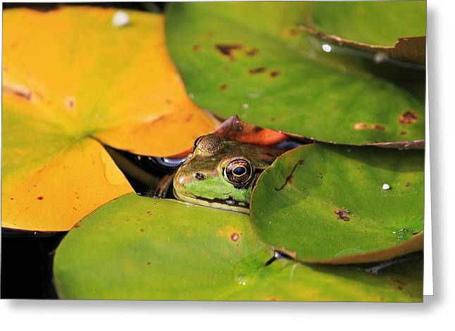 Frog Pond 3 Greeting Card