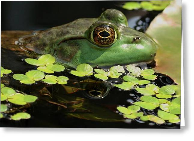 Frog Reflection Greeting Card by Barbara S Nickerson