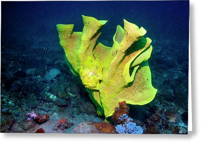Frogfish Camouflaged On Sponge Greeting Card by Georgette Douwma