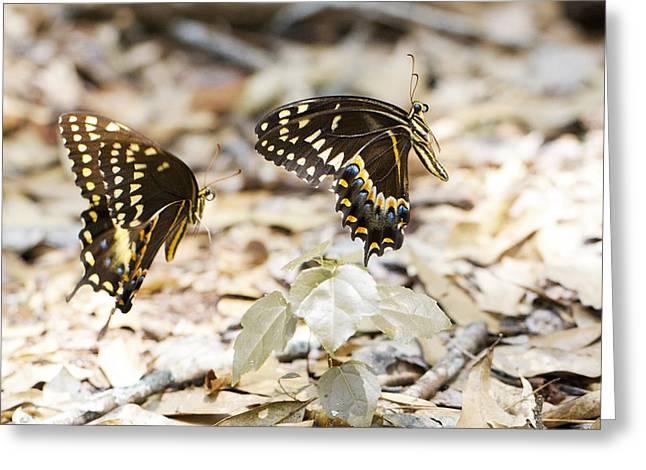 Frolicking Butterflies Greeting Card