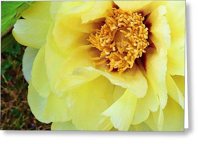 From Mom's Peony Tree Greeting Card