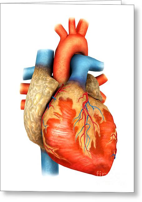Front View Of Human Heart Greeting Card