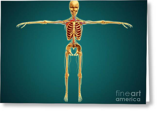 Front View Of Human Skeleton Greeting Card by Stocktrek Images