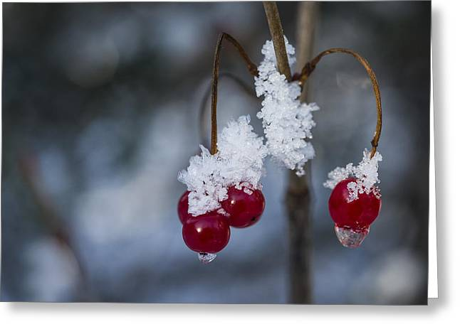 Frost Berries Greeting Card by Ted Raynor