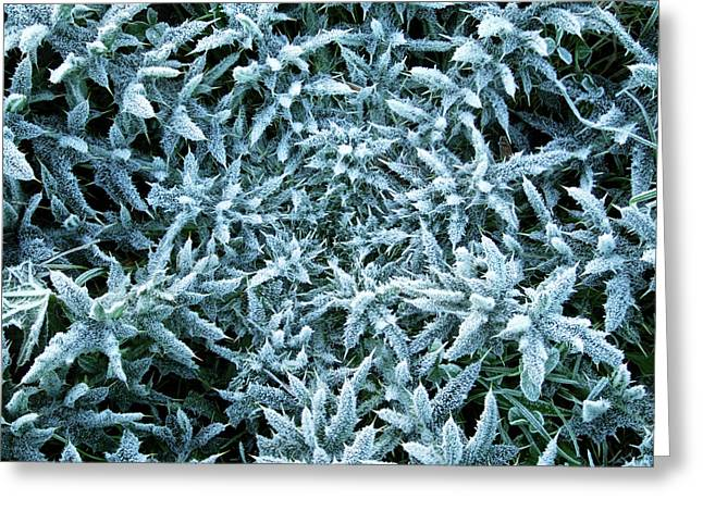 Frost Covered Thistle Greeting Card