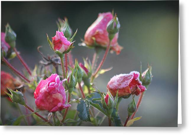 Frost Kissed Roses Greeting Card by Katie Wing Vigil