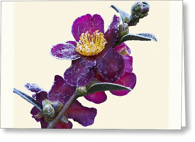 Frost On Camellia Sasanqua 'yuletide' Greeting Card by Saxon Holt