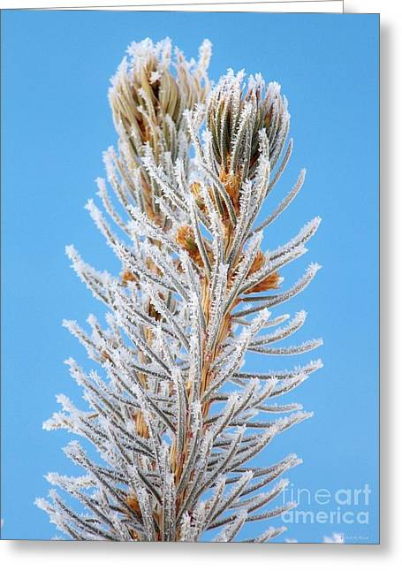 Frosted Blue Spruce Tips Greeting Card