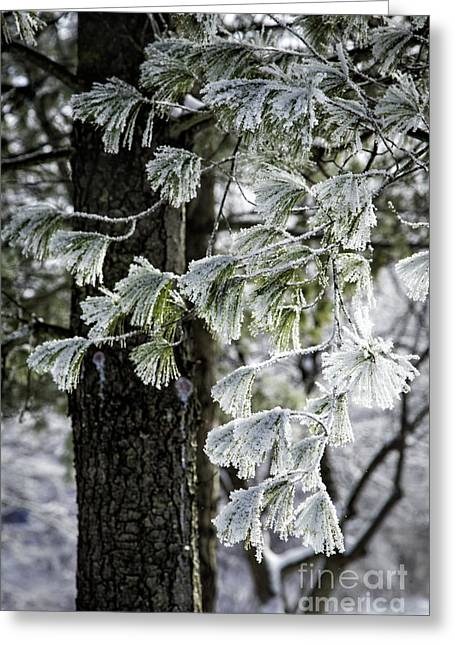 Frosted Conifer Greeting Card