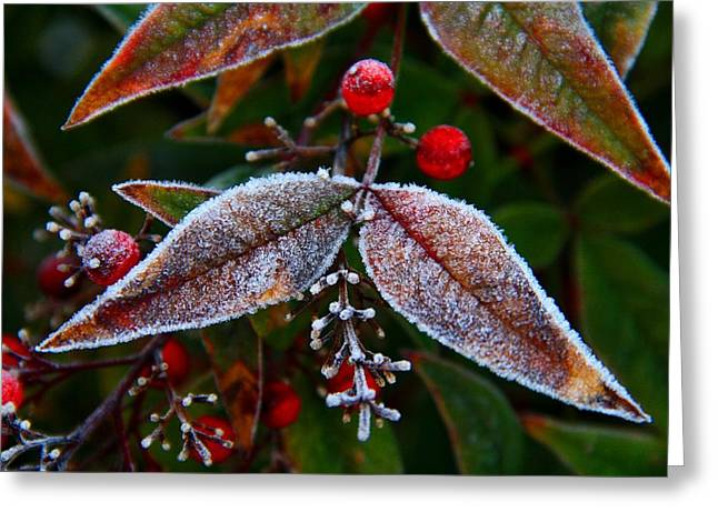 Frosted Nandina Leaves Greeting Card