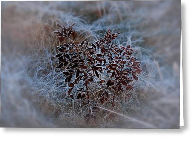 Frosted Rugosa Greeting Card by Susan Capuano