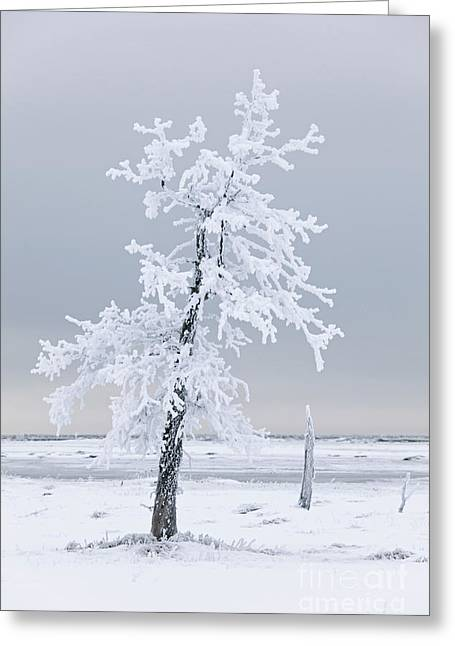 Frosted Tree Greeting Card by Tim Grams