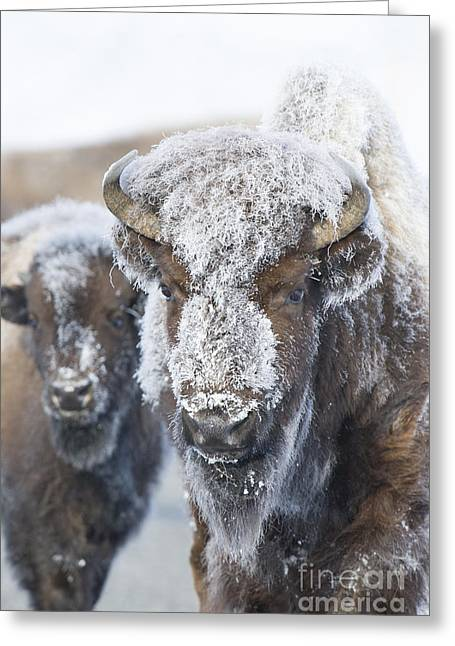 Frosty Bison Greeting Card by Deby Dixon