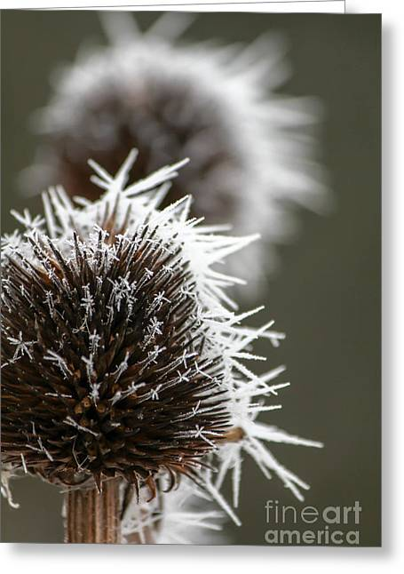 Frosty Coneflowers Greeting Card