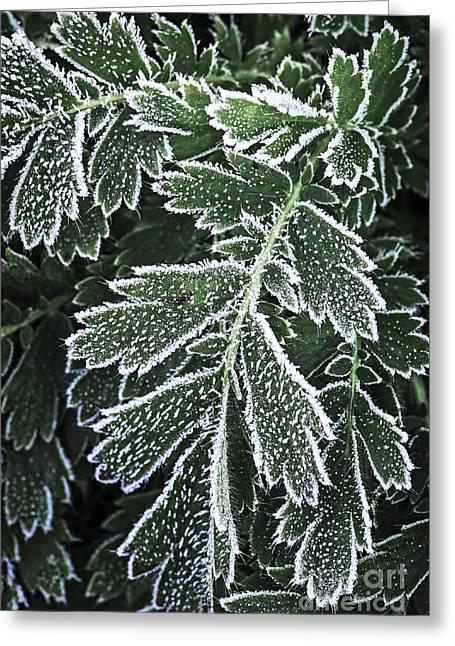 Frosty Leaves Macro Greeting Card by Elena Elisseeva