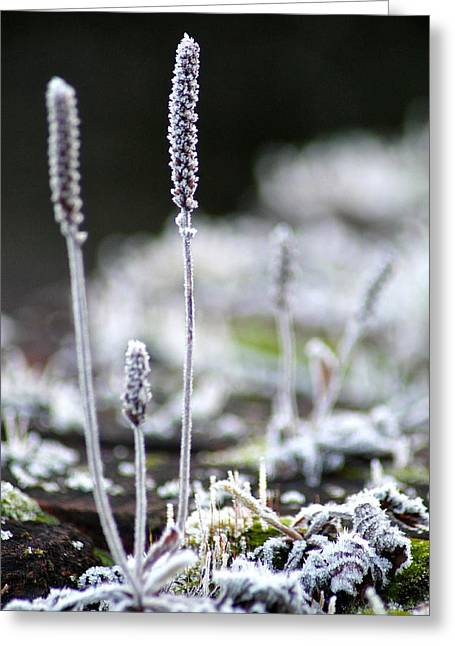 Frosty Weed Greeting Card by Karen Grist