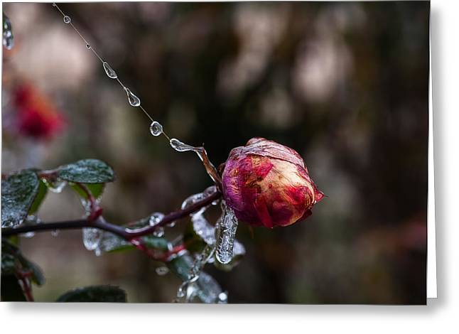 Froze Rose Greeting Card