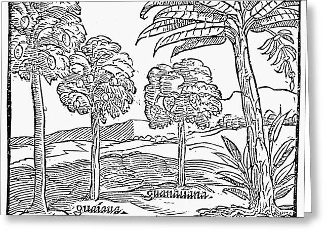 Fruit Trees Of Hispaniola Greeting Card
