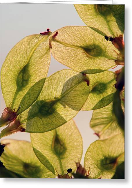 Fruits Of Wych Elm (ulmus Glabra) Greeting Card by Dr. John Brackenbury